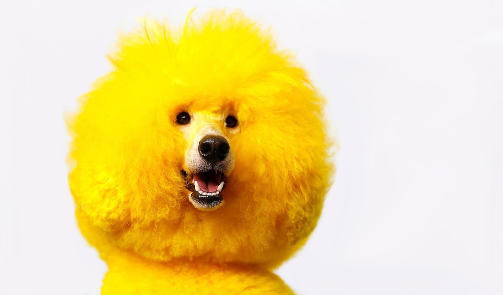 Kobe the miniature poodle recently groomed and dyed bright yellow | Reuters/Mike Blake