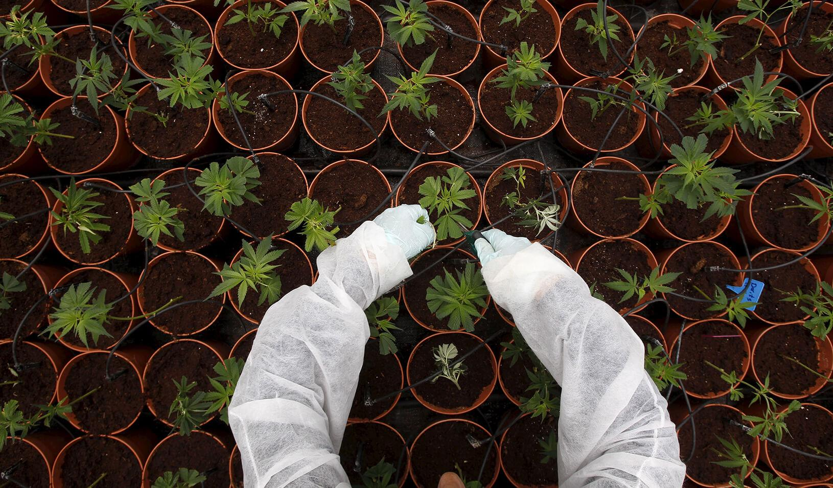 A worker tends to cannabis plants.