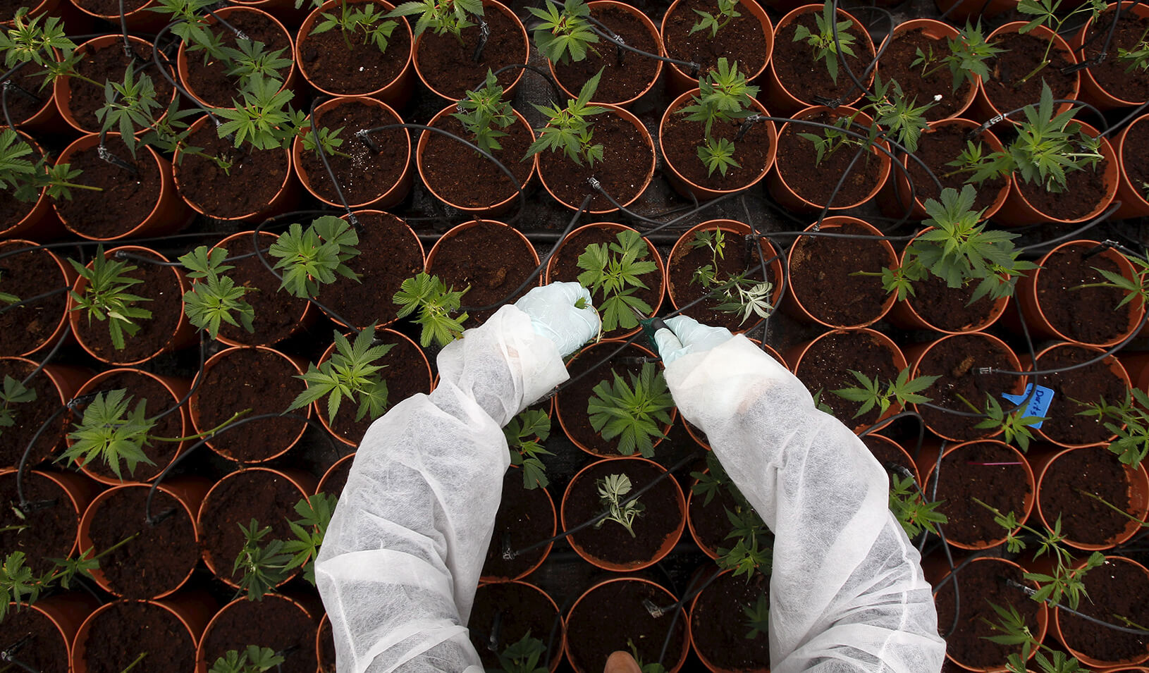 A worker tends to cannabis plants. | Reuters/Baz Ratner