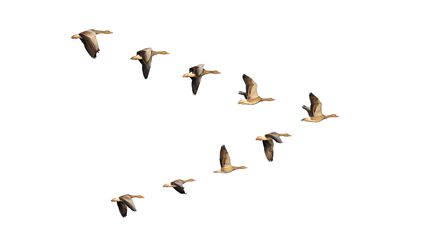Geese migrate in organized v-formations with a distinct leader. | iStock/Anagramm