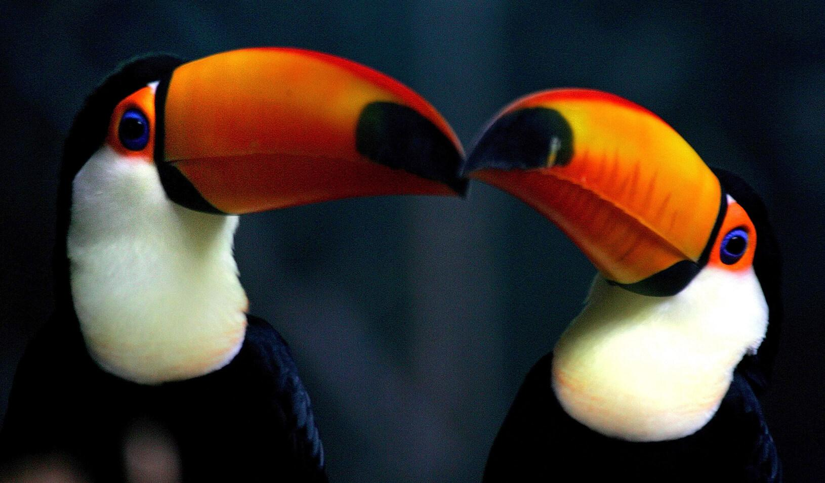 Two toucans resting together