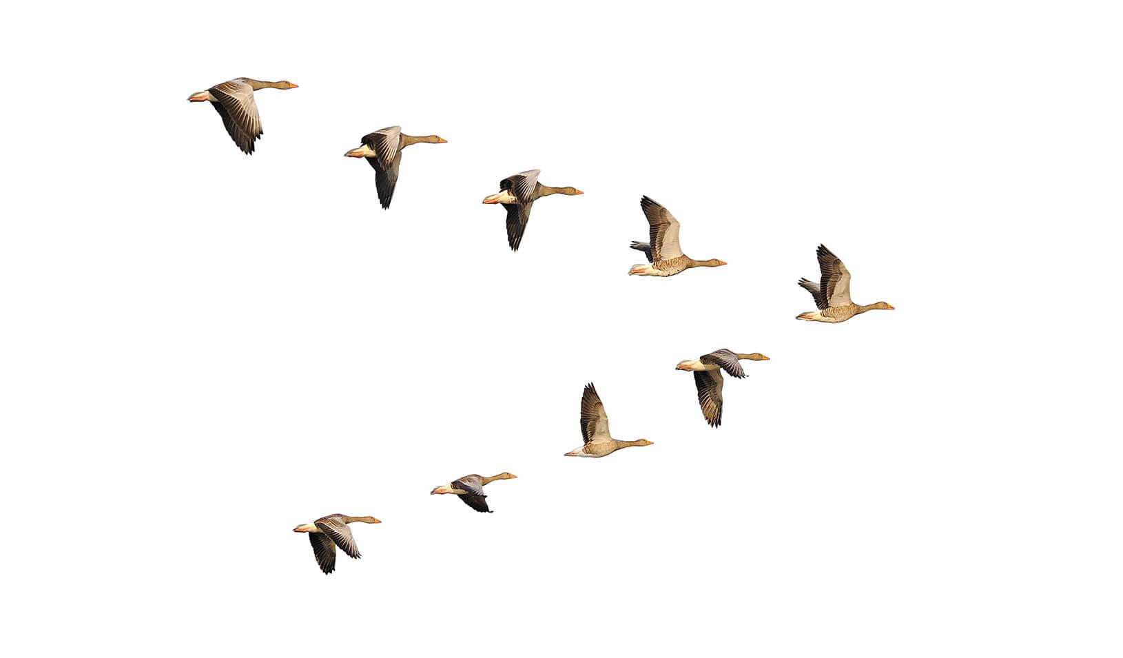 Geese migrate in organized v-formations with a distinct leader.