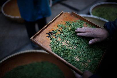 A tea merchant inspects tea leaves at a tea market in Xinchang, Zhejiang province. Credit: Reuters/Aly Song